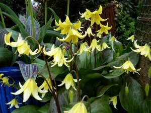 Erythronium-Pagoda-April-14th
