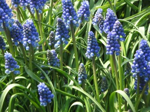 Muscari_armeniacum_clump