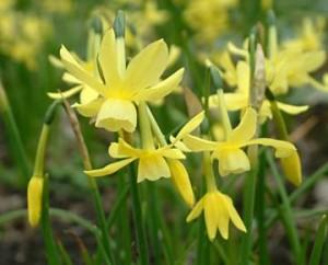 Narcissus'Hawera'
