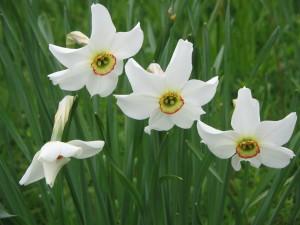 Narcissus_poeticus_'Recurvus'03