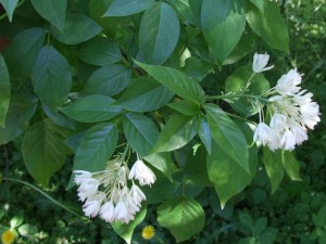 Staphylea_trifolia_a1